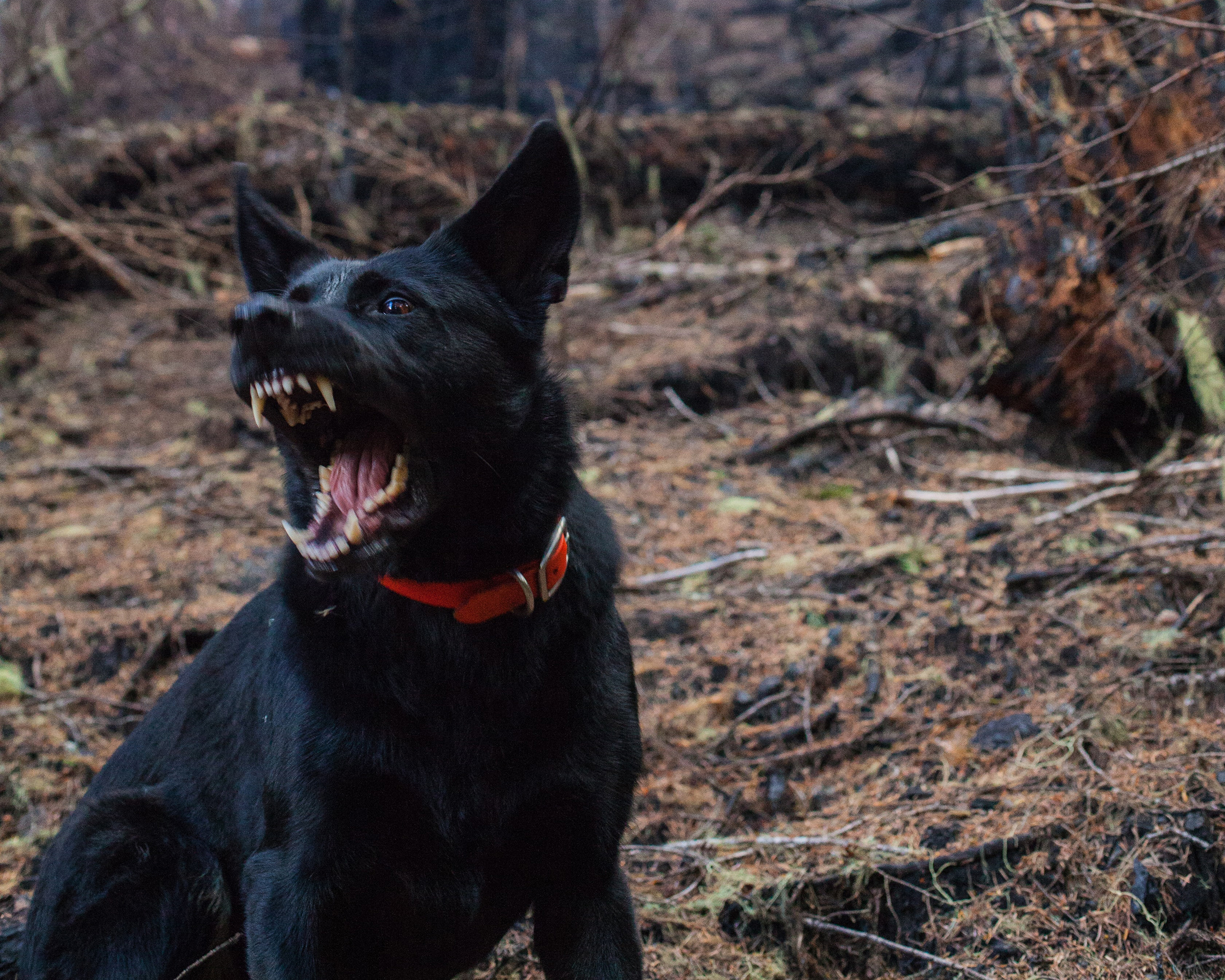Black dog showing it's teeth in a wooded area - Spitzer Legal Dog Bite Practice Area